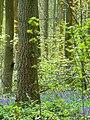 Trees, saplings and bluebells, West Woods, near Marlborough - geograph.org.uk - 789249.jpg
