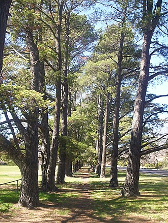 Downer, Australian Capital Territory - Pine trees at Downer Oval which date back to the CSIRO facility in the 1940s