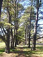 Trees downer canberra oval.jpg