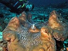 Riesenmuscheln Wikipedia