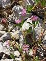 Trifolium resupinatum sl6.jpg