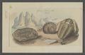 Trilobites spec. - - Print - Iconographia Zoologica - Special Collections University of Amsterdam - UBAINV0274 099 01 0018.tif