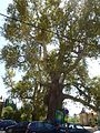 Trsteno Platanus Orientalis-001.jpg