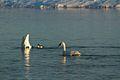 Trumpeter Swans (6711459465).jpg