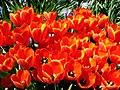 Tulips-6687.jpg