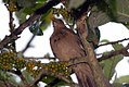 Turdus grayi 14zz.jpg