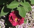 Tuscan Superb Rose And Thyme.jpg