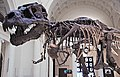 Tyrannosaurus rex (theropod dinosaur) (Hell Creek Formation, Upper Cretaceous; near Faith, South Dakota, USA) 28.jpg