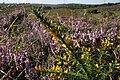 Ulex gallii Picket Hill.jpg