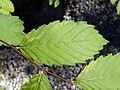 Ulmus americana (American elm) 1.jpg