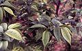 Ulmus cv (pumila x wallichiana)x(laciniata x carpinifolia).jpg