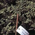 Ulmus parvifolia 'Nana Variegata'.jpg