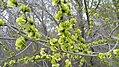 Ulmus pumila green fruits 1.jpg