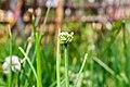 Umbel of onion flowers-Koshi Tappu Wildlife Reserve-Paschim Kasuha 03.JPG