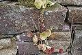 Umbilicus rupestris-1060.jpg