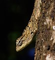 Un-identified-chameleon-from-kottayam-kerala.jpg