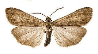 <i>Utetheisa connerorum</i> species of insect