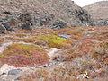 Végétation à Los Molinos (Fuerteventura).JPG