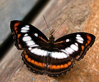 Athyma nefte - Male from Jairampur (Arunachal Pradesh)