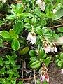Vaccinium vitis-idaea Japan1.JPG