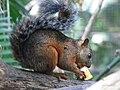 Variegated Squirre 2.jpg