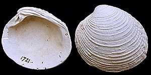 Warty venus - A fossilized shell of V. verrucosa