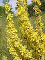 Verbascum lychnitis (flowers) 2.jpg