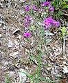 Vernonia texana.jpg