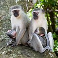 Vervets (Chlorocebus pygerythrus) females with youngs ... (46652827131) (cropped).jpg