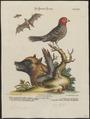 Vespertilio magnus - 1700-1880 - Print - Iconographia Zoologica - Special Collections University of Amsterdam - UBA01 IZ15900159.tif