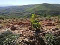 Viñedos uva rufete Ruta del Vino Sierra de Francia.jpg