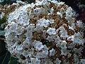 Viburnum tinus Closeup.jpg