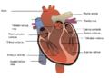 Vidinė širdies sandara 1.png