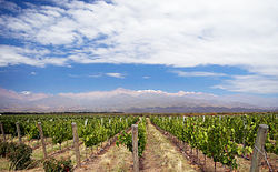 Vineyard in Mendoza, Argentina.jpg