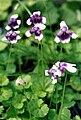 Viola banksii (AD)1.jpg