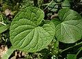 Viola palustris kz01.jpg