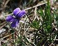 Viola pinnata 1.jpg