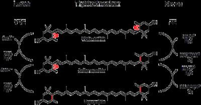 400px Violaxanthin cycle - Xantofila Ciclo y Definición