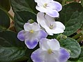 Violetas - panoramio.jpg