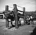 "Vol v ""roštu"" za kovanje, Dobrovo 1953.jpg"