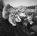 Volovska vprega v jarm, Velike Loče, pri Ježetovih 1955.jpg
