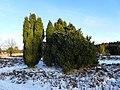 Wacholder - Kohlenbissener Heide - geo.hlipp.de - 32125.jpg