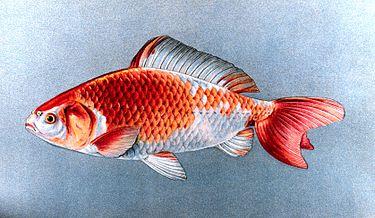 Wakin goldfish plate