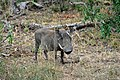 Warthog at Kruger National Park, Limpopo, South Africa (20550641041).jpg