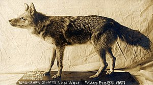 Eastern wolf - Taxidermy exhibit of an eastern wolf killed on February 10, 1907 in Washtenaw County, MI.