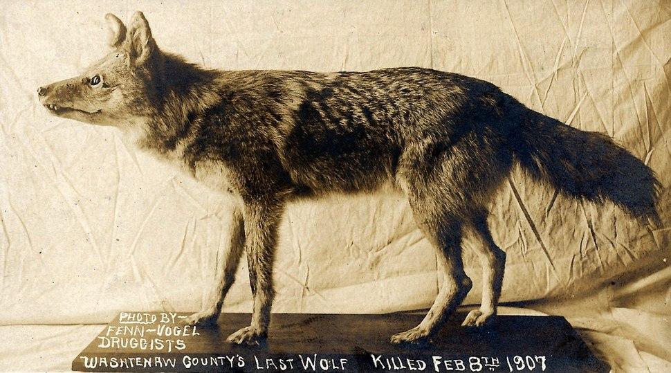 Washtenaw County's last wolf (1907)