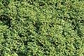 Weener - Hessepark - Hessepark + Prunus lusitanica 05 ies.jpg