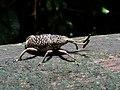 Weevil (Cercidocerus sp.) (8424478794).jpg