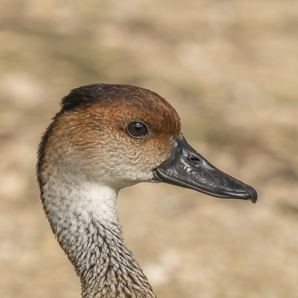 West Indian whistling duck (Dendrocygna arborea) head.JPG