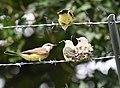 Western Kingbird (fledges and parents) (28730754407).jpg